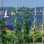 reichenau-tomatenfeld-bei-mittelzell